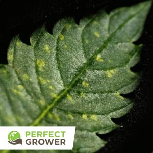 yellow leaf cannabis