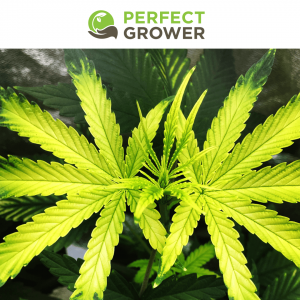 yellow cannabis leaves Iron deficiency