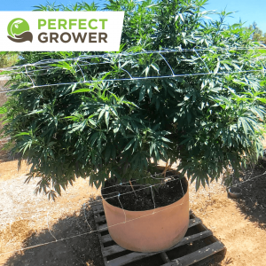 outdoor cannabis grow
